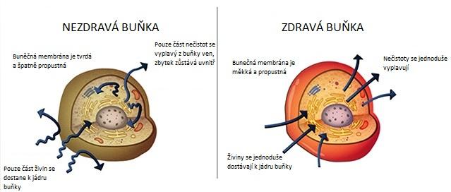 Zdravá a nezdravá buňka